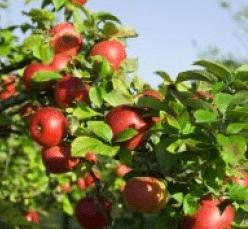 Η μηλιά και η αχλαδιά